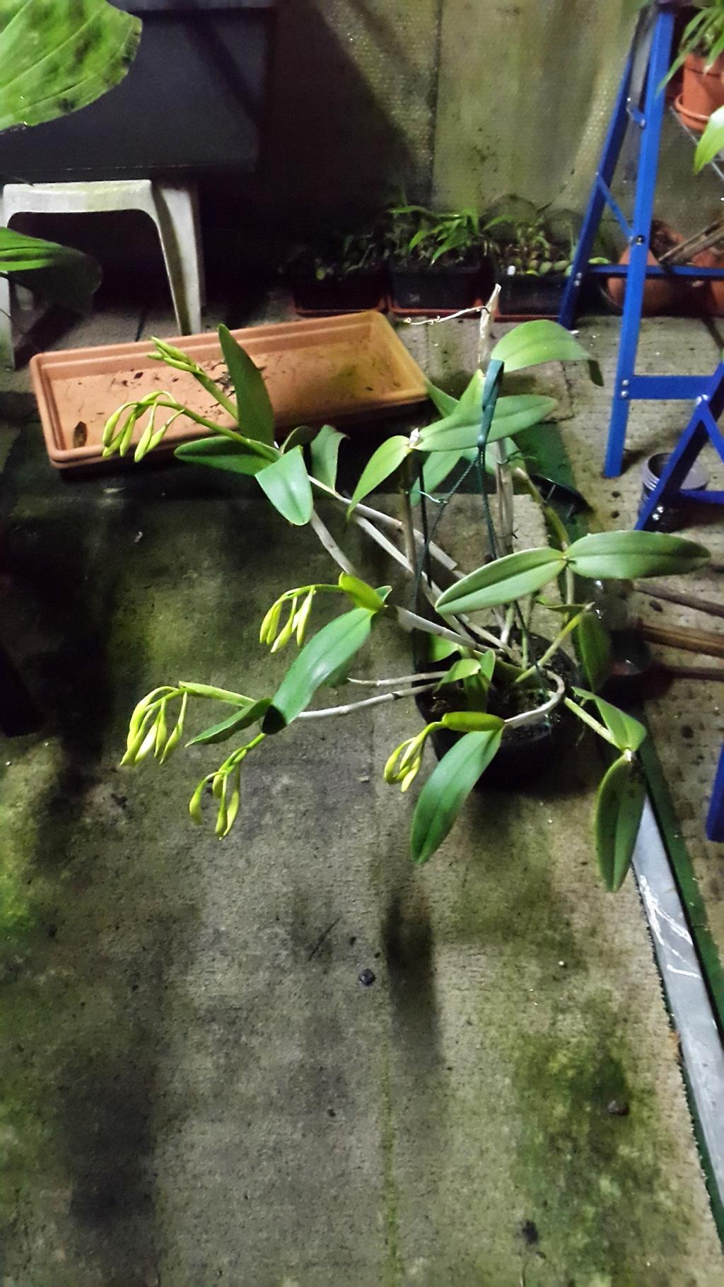 Cattleya maxima x intermedia - Seite 2 20151210_183806_zpszalgqokn