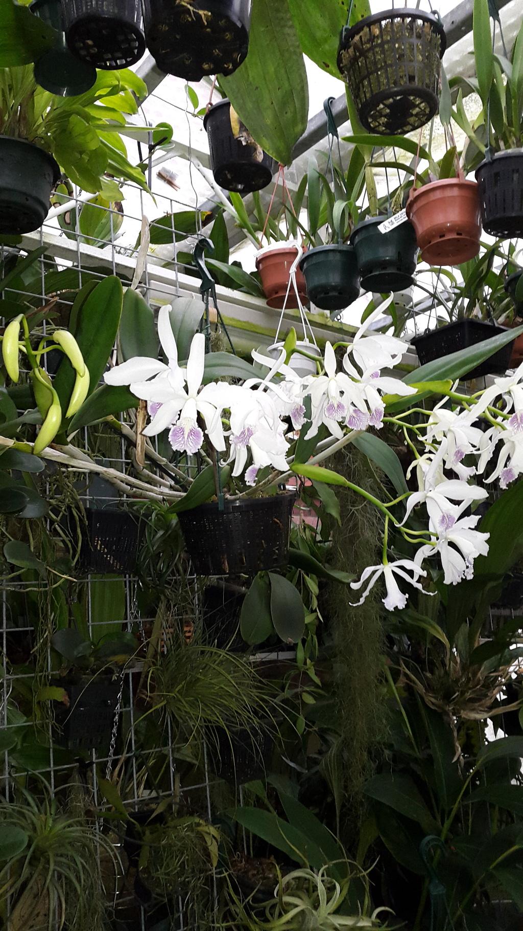 Cattleya maxima x intermedia - Seite 2 20151227_134308_zpsk1ihadb9