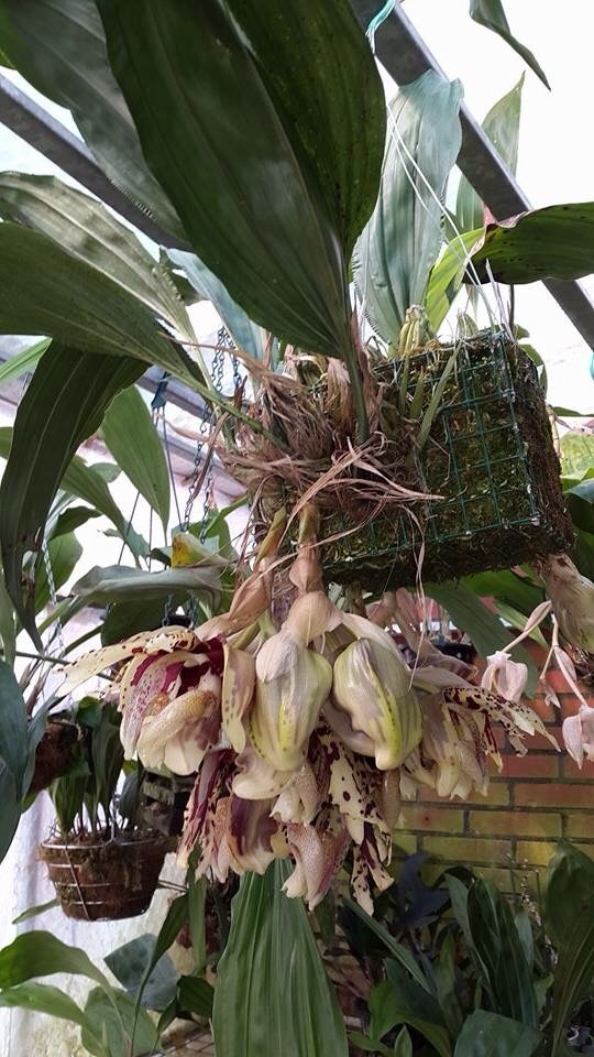 Mehr stanhopea nigriviolaceae  Image.jpg1_zpscmidxemr