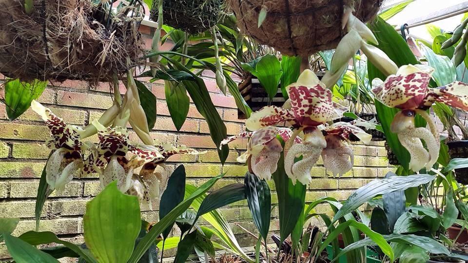 Mehr stanhopea nigriviolaceae  Image.jpg1_zpsvvgn3yiz