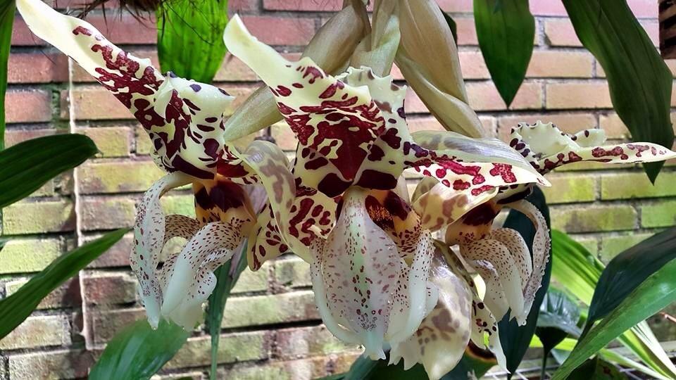 Mehr stanhopea nigriviolaceae  Image.jpg2_zpsigel8fl1