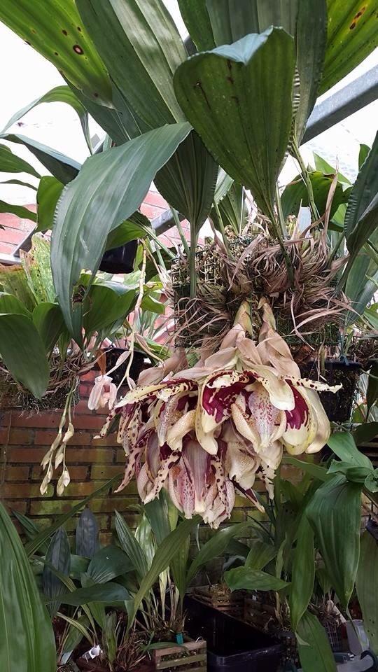 Mehr stanhopea nigriviolaceae  Image.jpg2_zpsjfzioevh