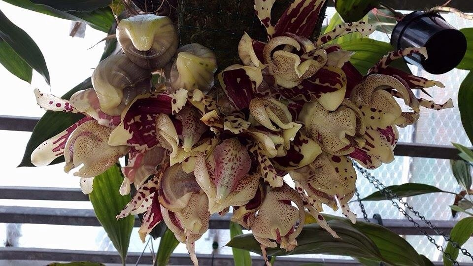 Mehr stanhopea nigriviolaceae  Image.jpg4_zpsd75ggsom