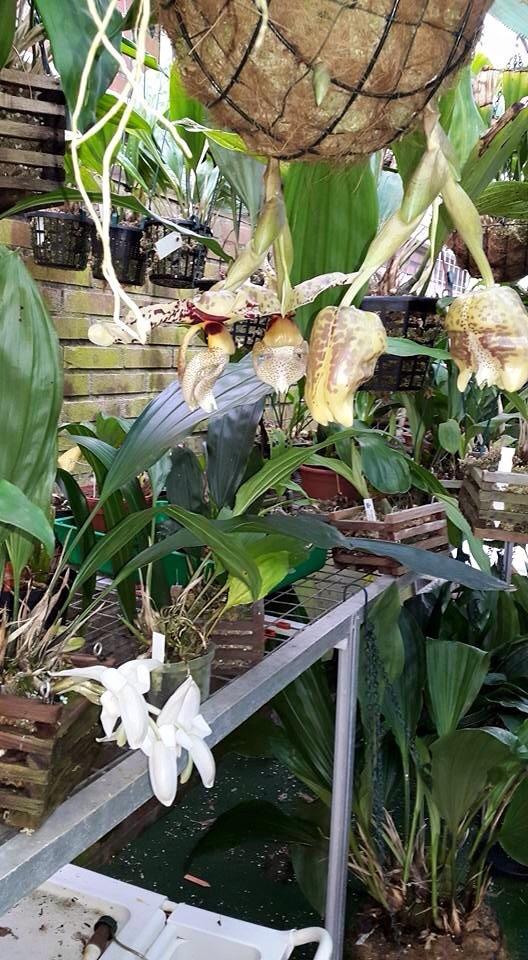 Mehr stanhopea nigriviolaceae  Image.jpg4_zpsjnznxejj