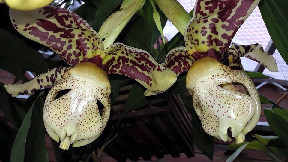 Mehr stanhopea nigriviolaceae  Image.jpg6_zps1wde08ko