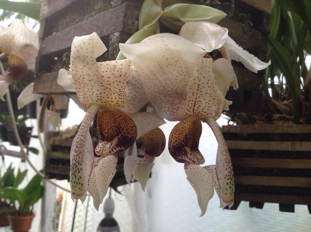 Stanhopea napoensis mit 7 bluhten Imagejpg11_zps591870e3