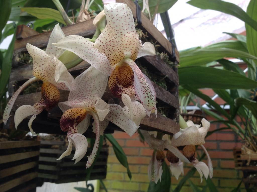 Stanhopea napoensis mit 7 bluhten Imagejpg13_zps72998e69