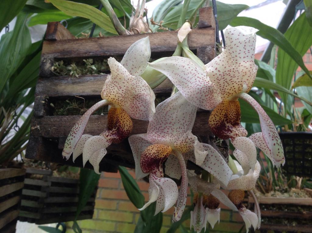 Stanhopea napoensis mit 7 bluhten Imagejpg14_zpsf8a58d40