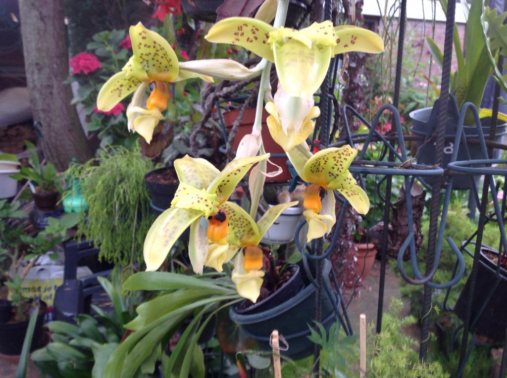 Stanhopea greerii Imagejpg1_zps21636d78