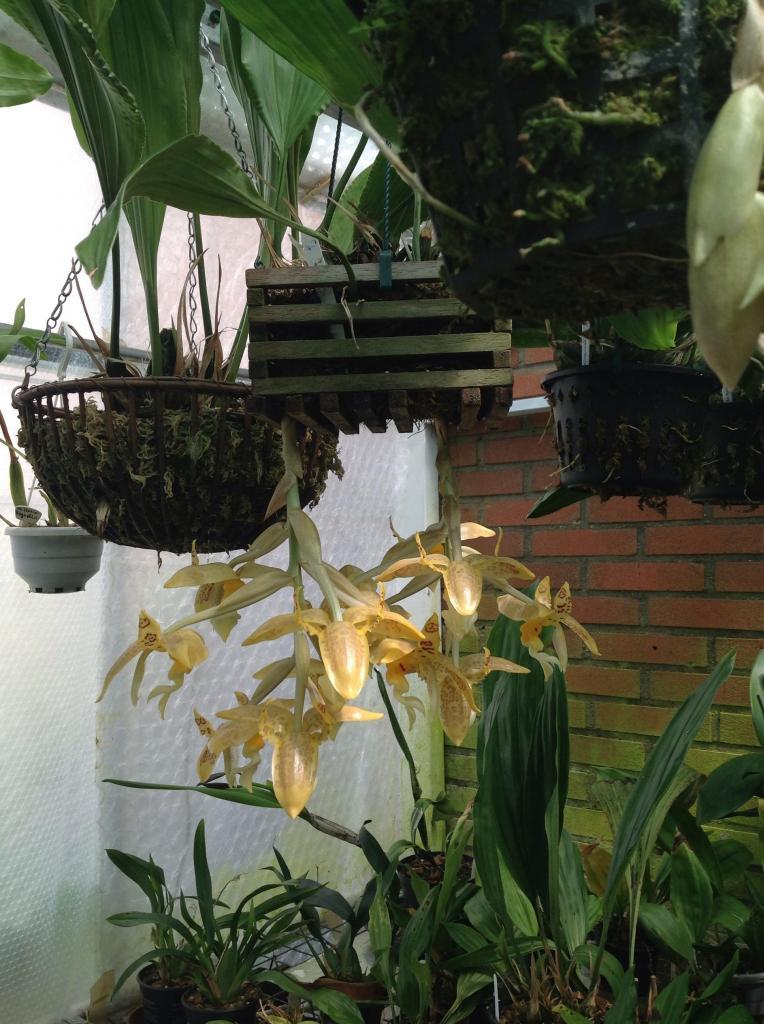 Stanhopea gibbosa Imagejpg1_zps4b3727d5