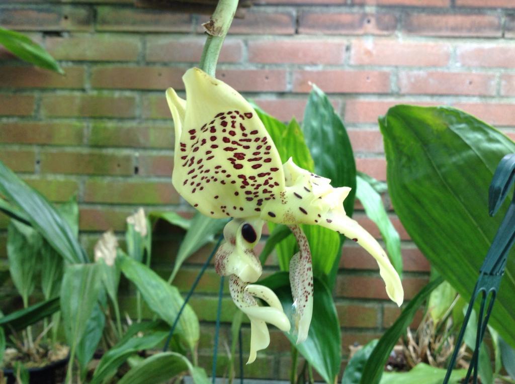 Stanhopea costaricensis  Imagejpg1_zps980e686f