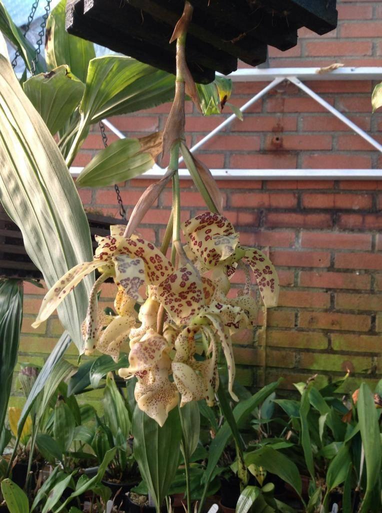 Stanhopea deltoida Imagejpg1_zpsa4440b43