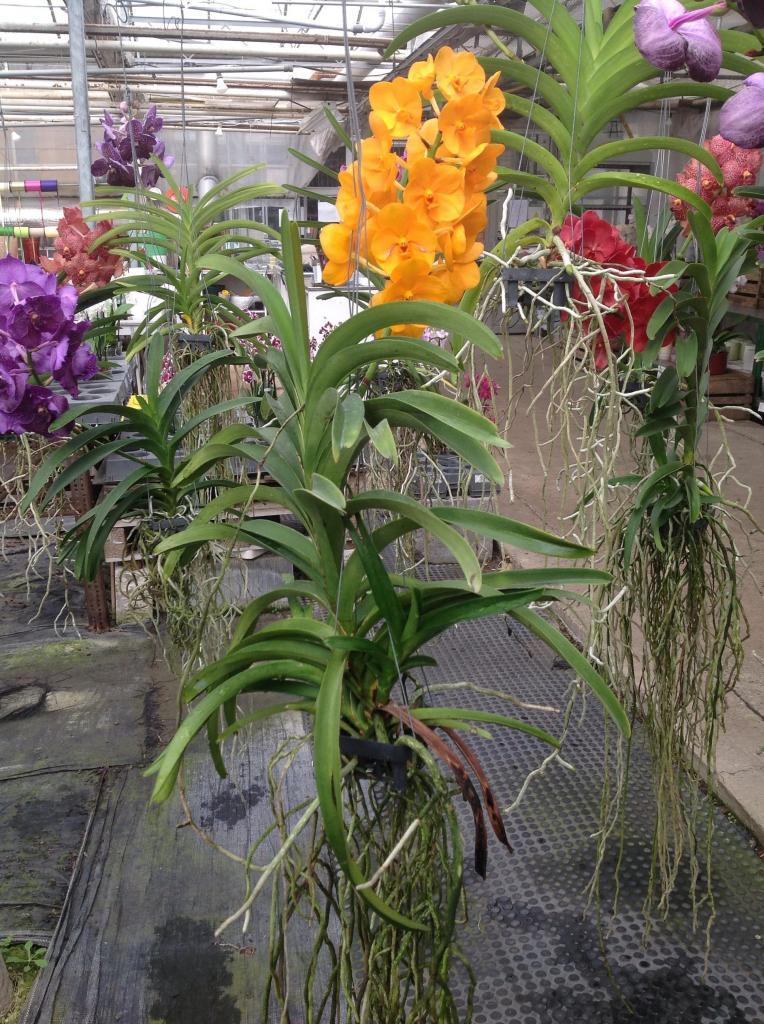 Besuch Jacky orchids, Antwerpen, belgien Imagejpg26_zps25fd3463