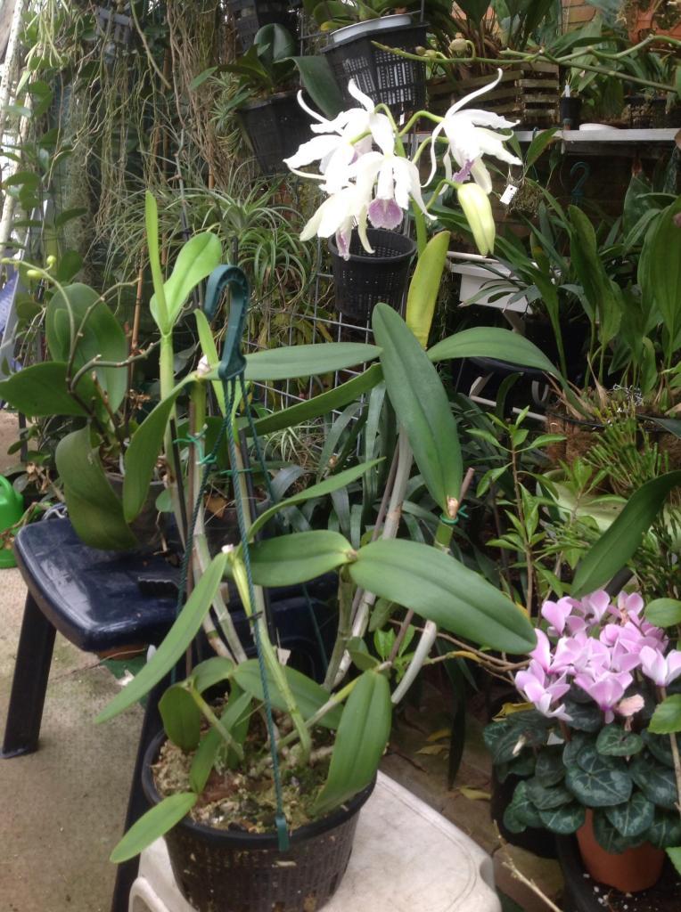 Cattleya maxima x intermedia Imagejpg2_zps18f3f5b8