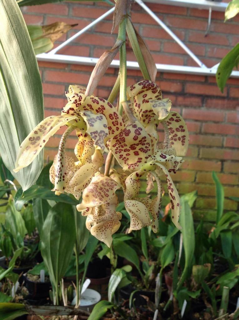 Stanhopea deltoida Imagejpg2_zps81b5128f