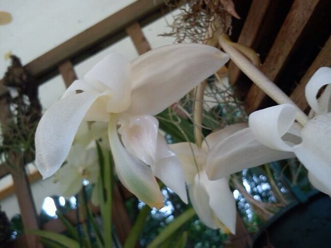 Stanhopea candida Imagejpg2_zps89c5194a