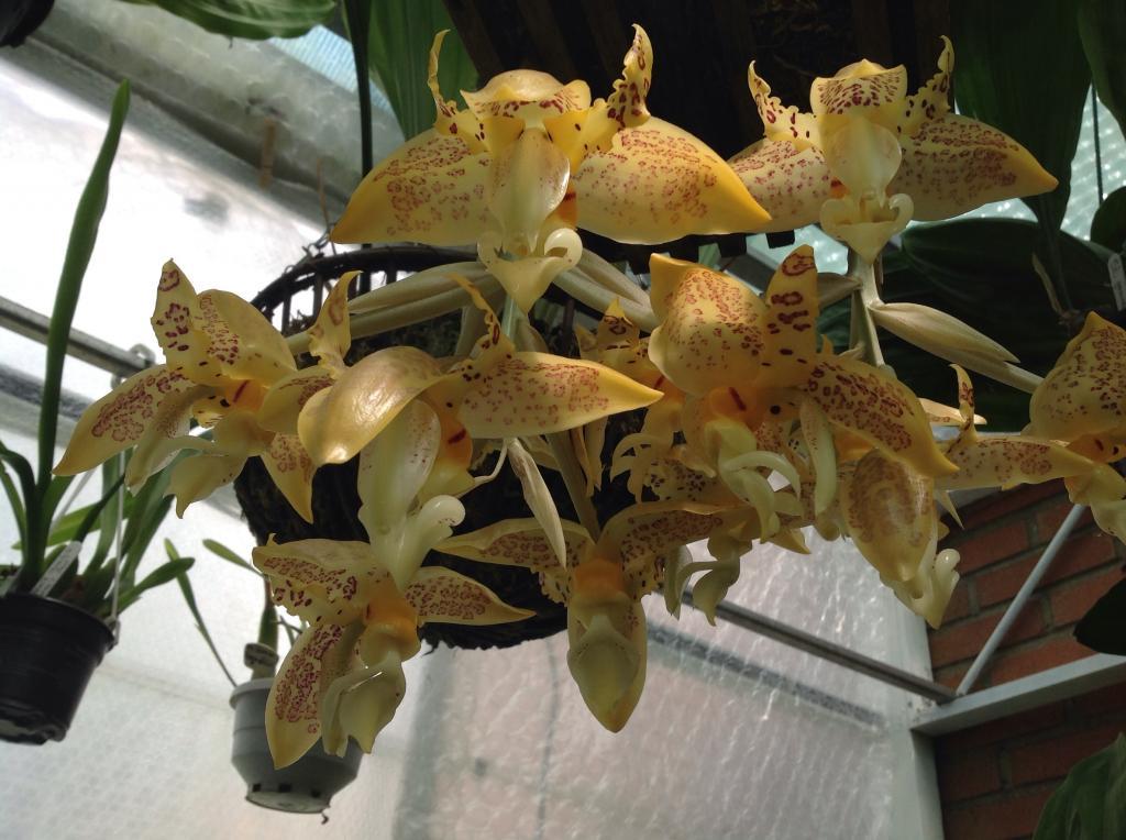 Stanhopea gibbosa Imagejpg2_zps8a4f0329