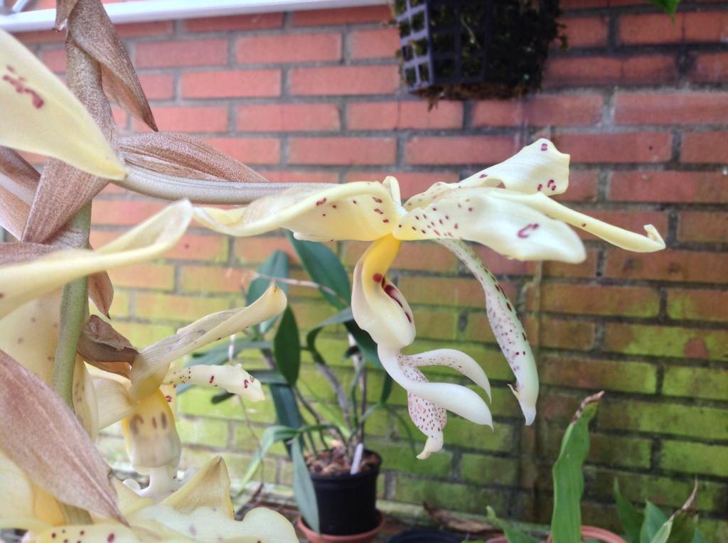 Stanhopea panamensis  Imagejpg2_zps956ad213