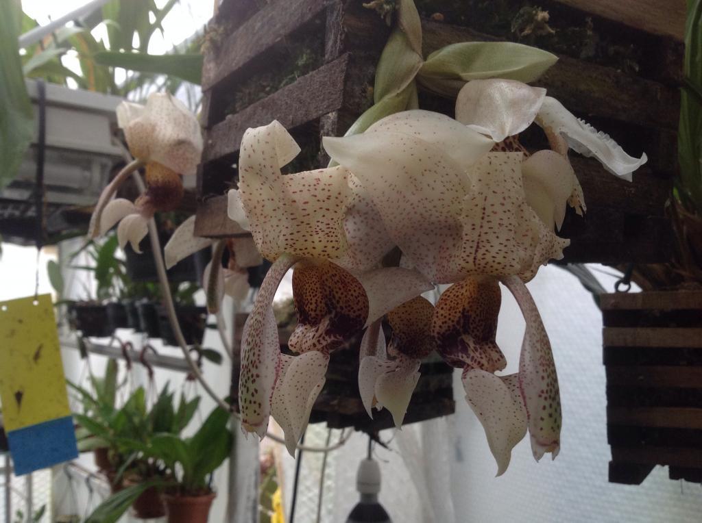 Stanhopea napoensis mit 7 bluhten Imagejpg3_zps13b97c62