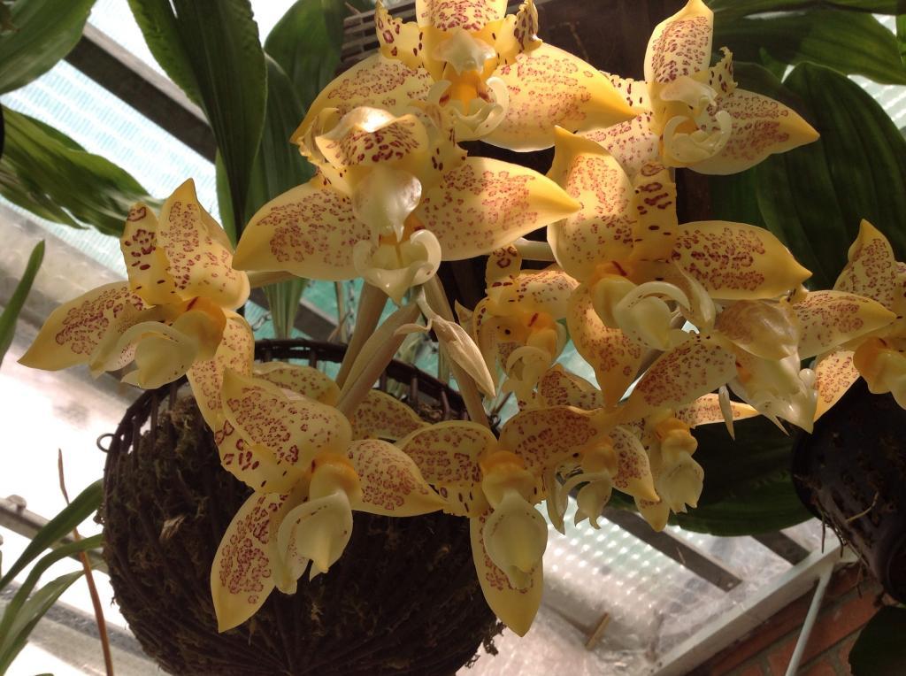 Stanhopea gibbosa Imagejpg3_zps1bba5099