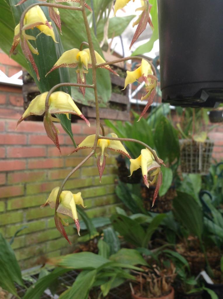 Gongora irmgardiae Imagejpg4_zps4a32e789
