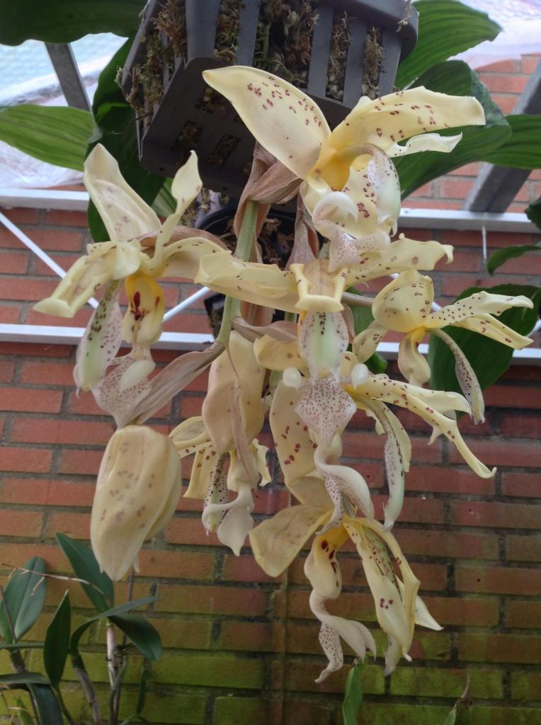 Stanhopea panamensis  Imagejpg4_zpsf865a1b6