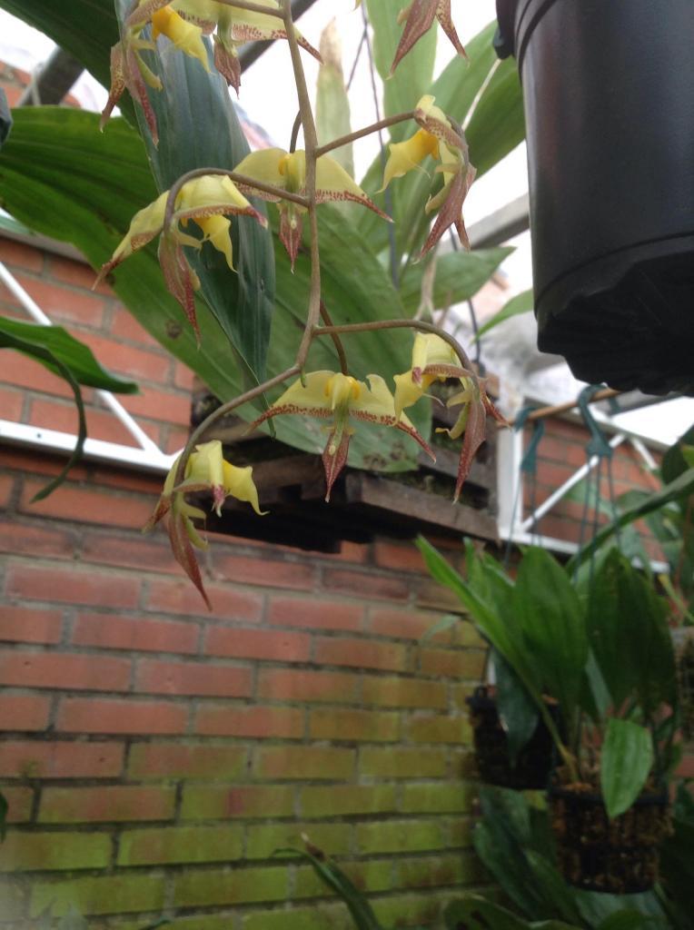 Gongora irmgardiae Imagejpg5_zps9dc75c10
