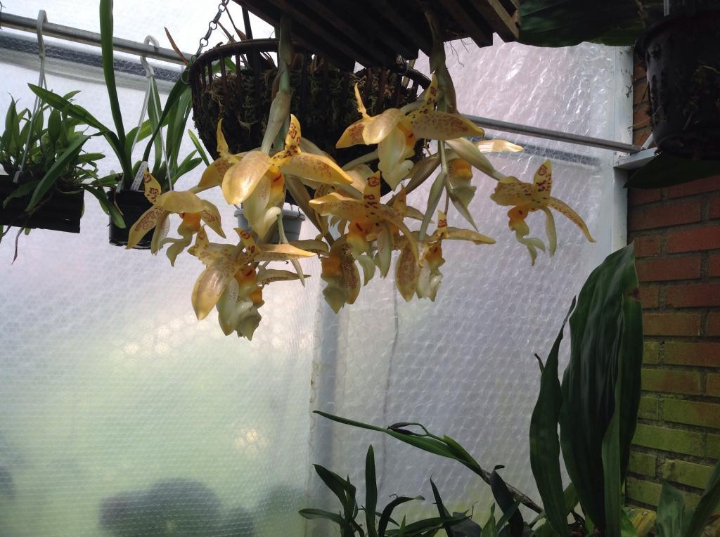 Stanhopea gibbosa Imagejpg6_zps19f9e994