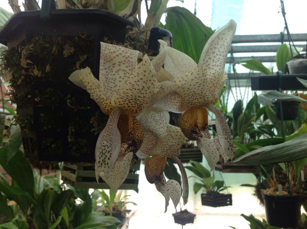 stanhopea napoensis Imagejpg6_zps5c6f5911