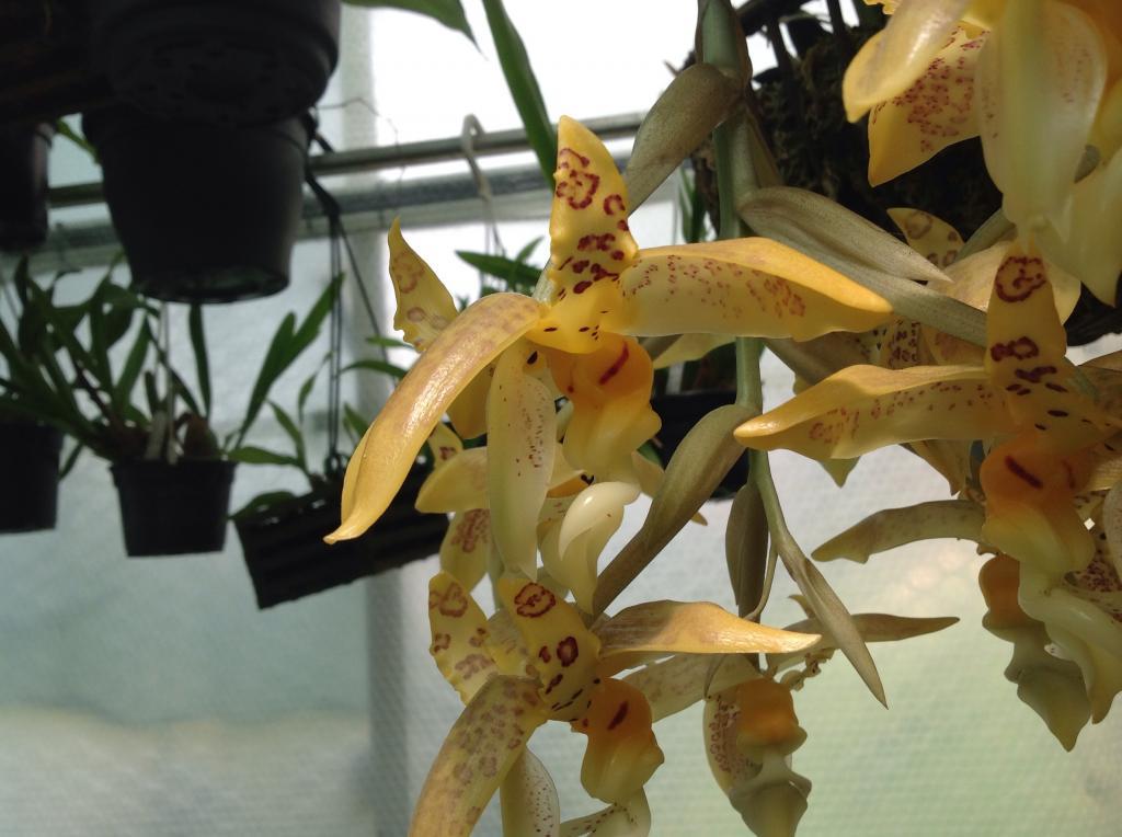 Stanhopea gibbosa Imagejpg8_zps9ba5ac0d