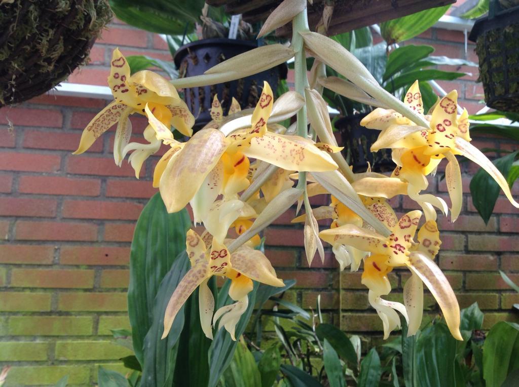 Stanhopea gibbosa Imagejpg9_zps551d0595