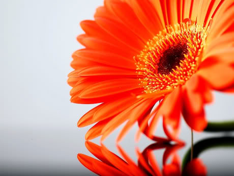 FLOWERS DECORATION Orange-gerbera-daisy-Flower-1600X12