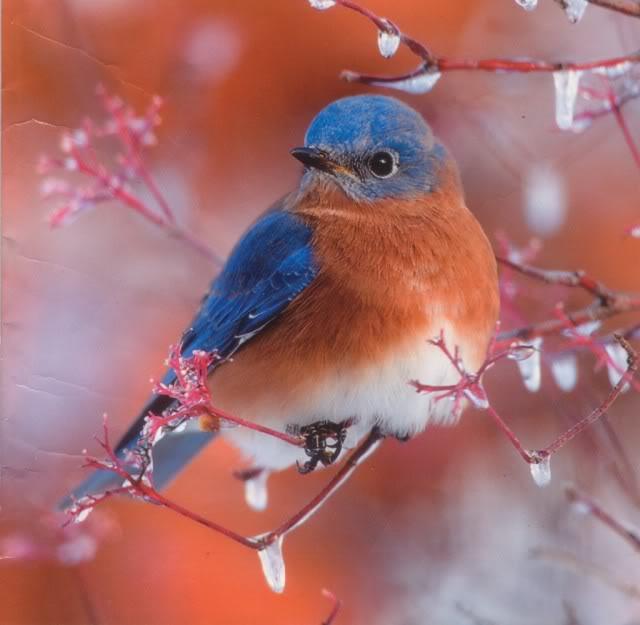 Sve vrste Ptica - Page 5 Bluebird-4