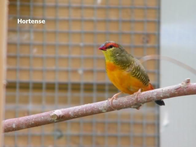 Surprise: sortie du nids imprévu Bengalizbr1