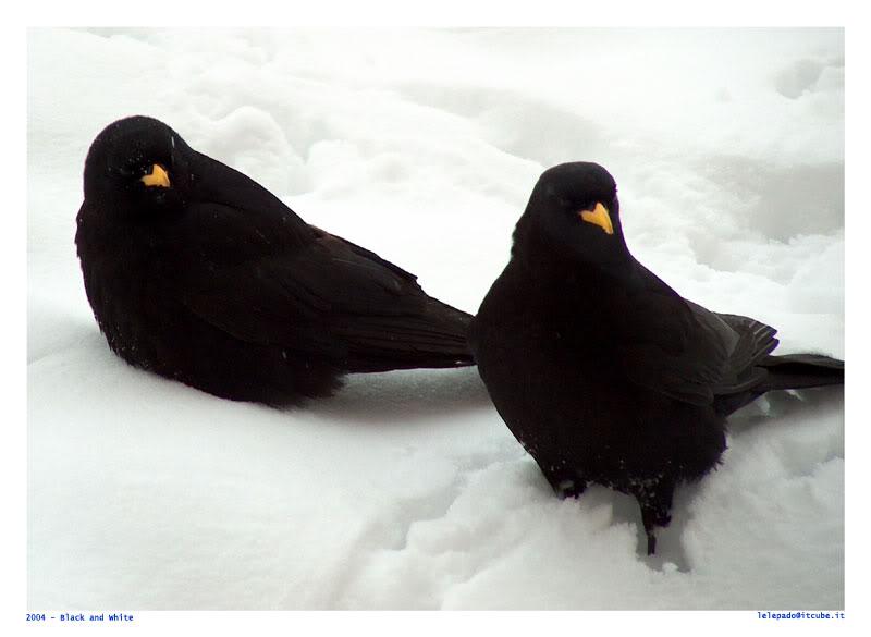 கவலை மறக்கும் காட்சிகள் அழகிய பறவைகள் சில.. - Page 4 Blackbirds