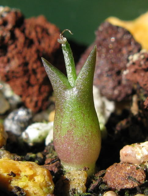 A. caput-medusae seedling pics IMG_5780-1