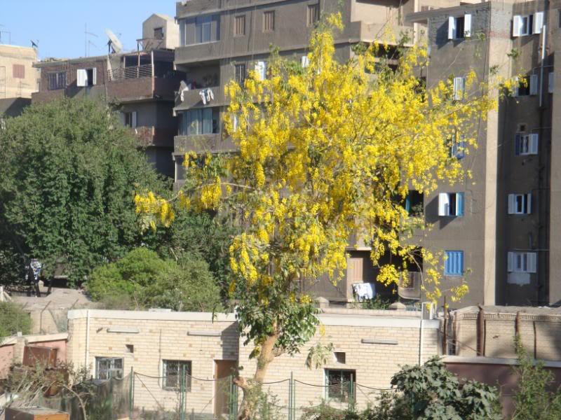 شجرة مريم بالمطرية DSC02054