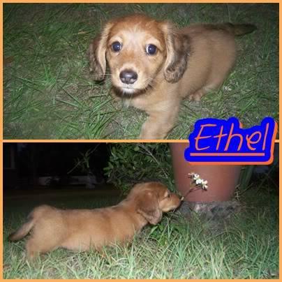 """Ethel"" - Red Dapple - Female E7"