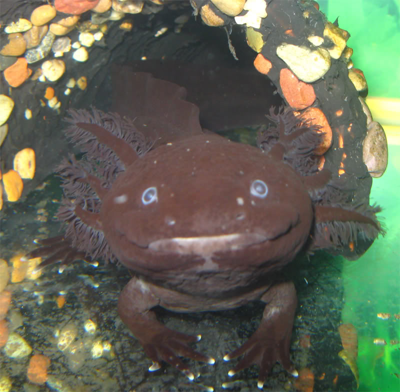Axolotls are awesome (with pictures made of awesome) Narkezy_April_2009