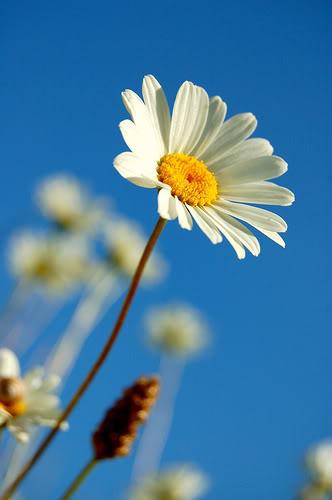 dhuroni lule nje antari..:):) Daisy