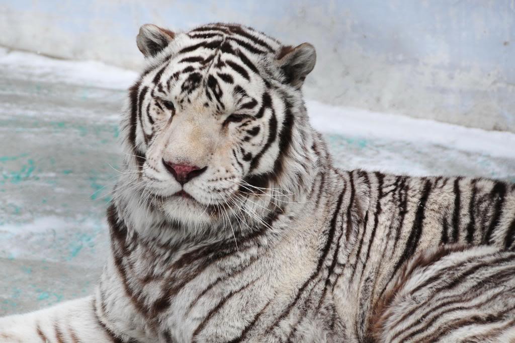 \~~~\White tiger/~~~/ 74
