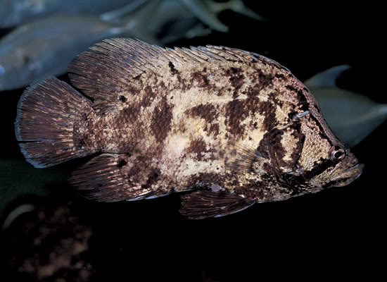 ID this Fish or Invert - Page 5 AtlanticTripletail_l