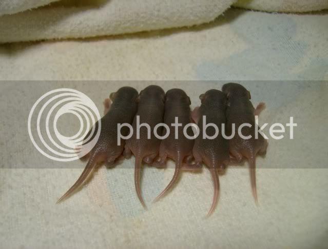 Black Beauty's unusual litter - Page 2 BBB-12-5002