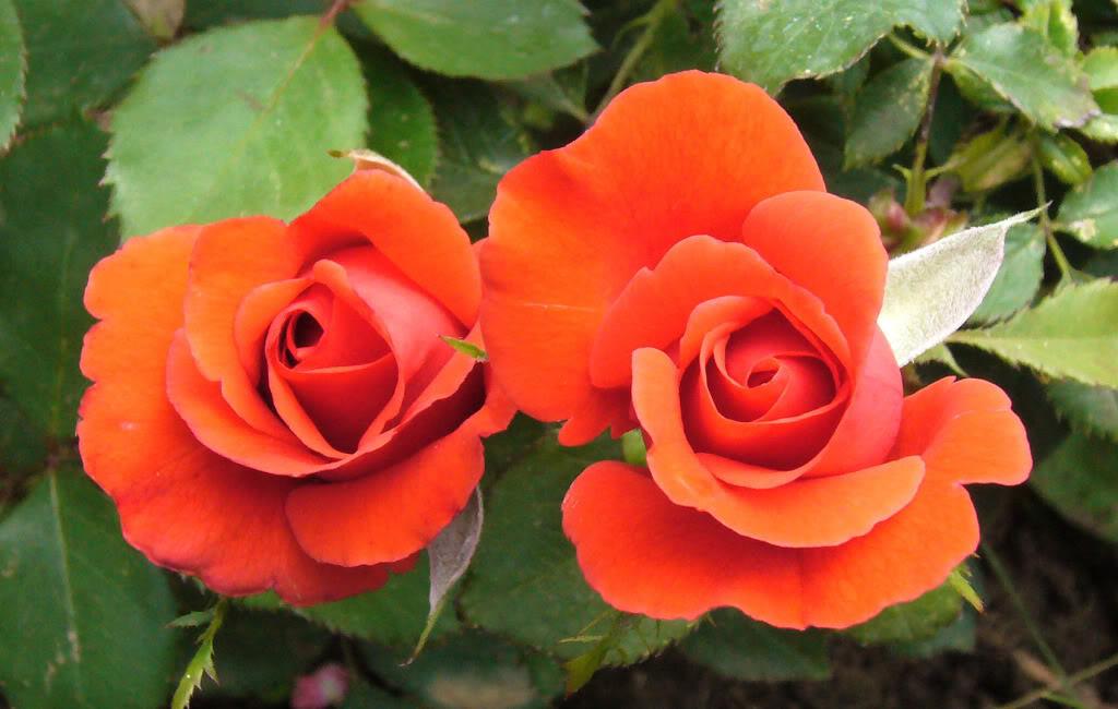 Fotografije cvijeća - Page 39 Ruzepariskocrvena