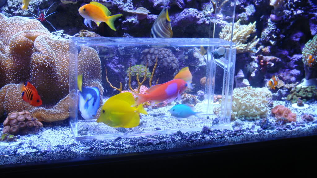 how to catch a fish in a reef tank? 008-15