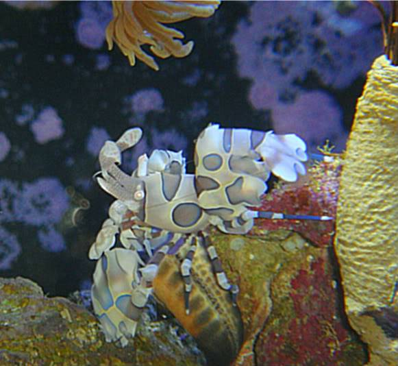 Harlequin shrimp:) - Page 2 016-25-1