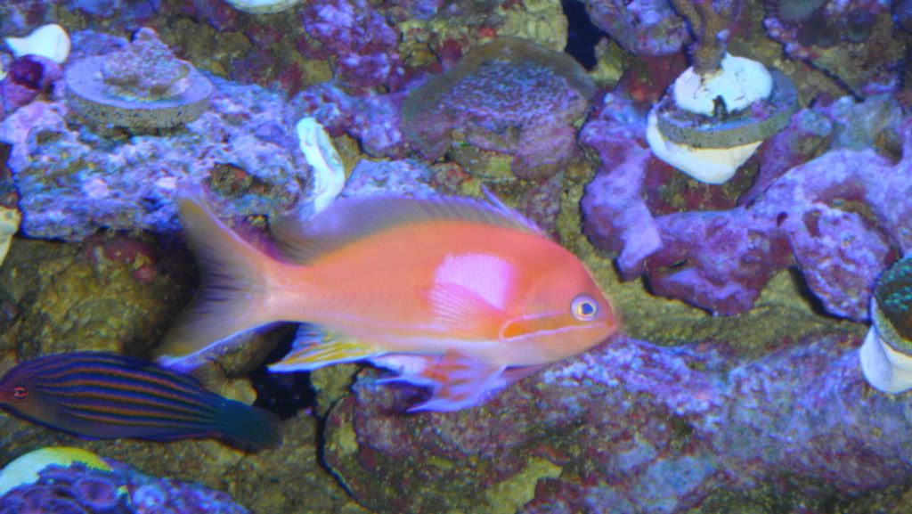 Clown Fish.... what are the signs of attraction? 017-10