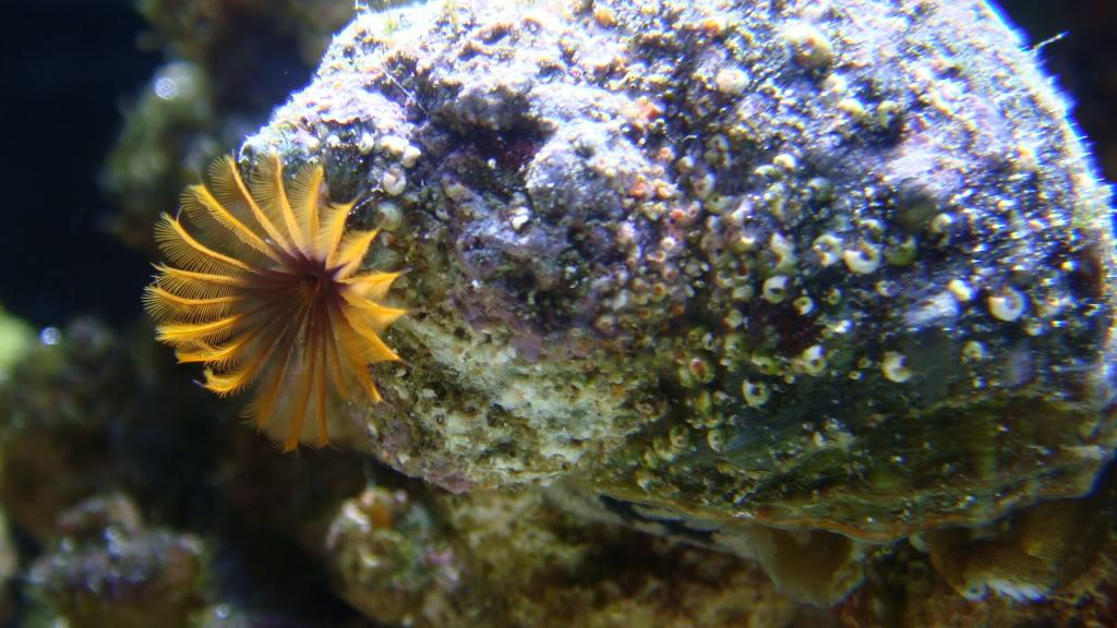 Porcupine Saltwater Snail- LOL 035-1-1
