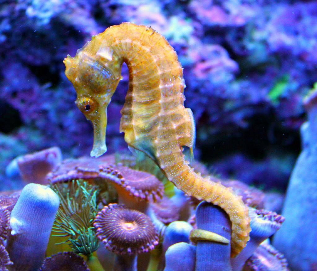 Meet the newest members of the Seahorse tank! IMG_2216_zps2571313e