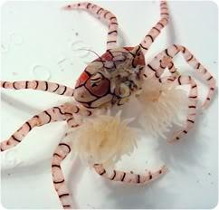 The incredible Pom Pom Crab! Pom_Pom_Crab_psccccccccccccccccccccccccc-1
